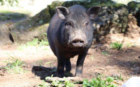Pig Brings Hope-2
