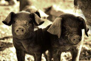 Piglets for Haiti